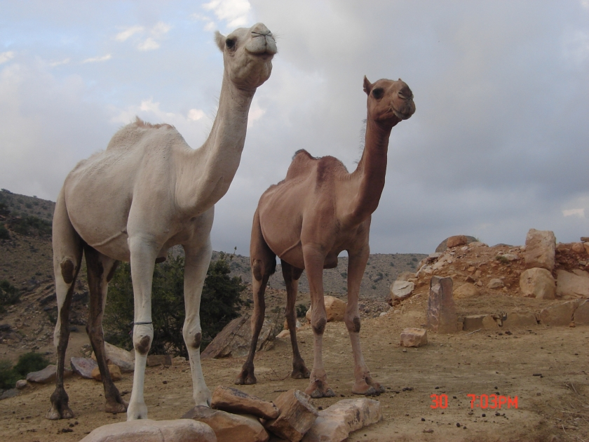 two-type-of-kohi-camel.jpg