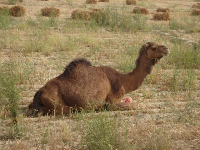 The world's leading milch camel~The Kharani