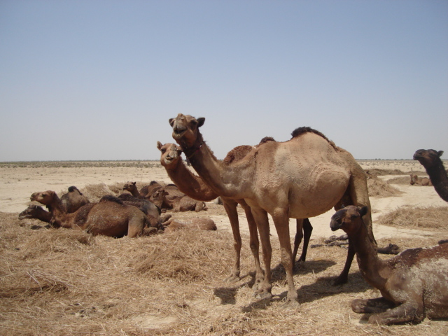 We Celebrate the Worlds' Hardest Animal Day, A world Camel Day (22nd June)