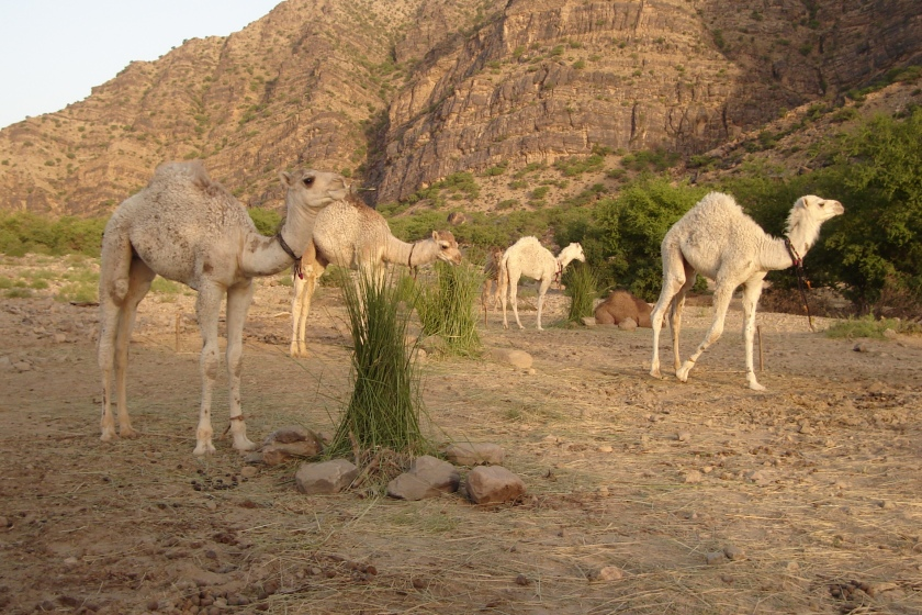 Camel calf care and management