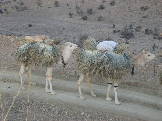 Camel working in rug mountains of Suleiman