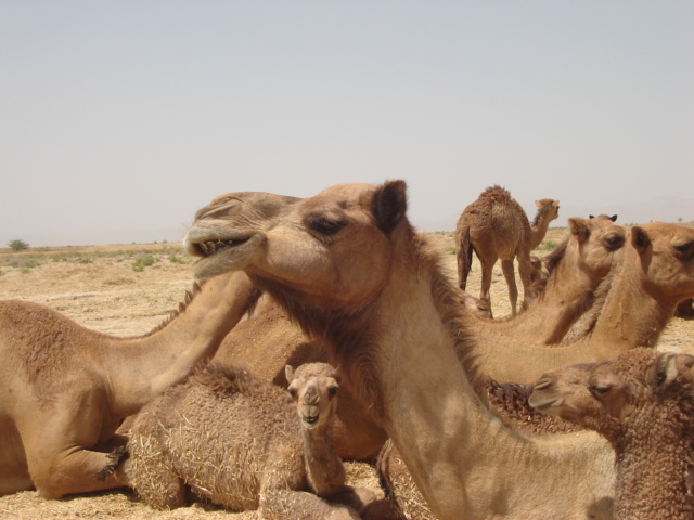 The Strong and Brave, Tolerate hottest days of the year (22 June), A world Camel Day