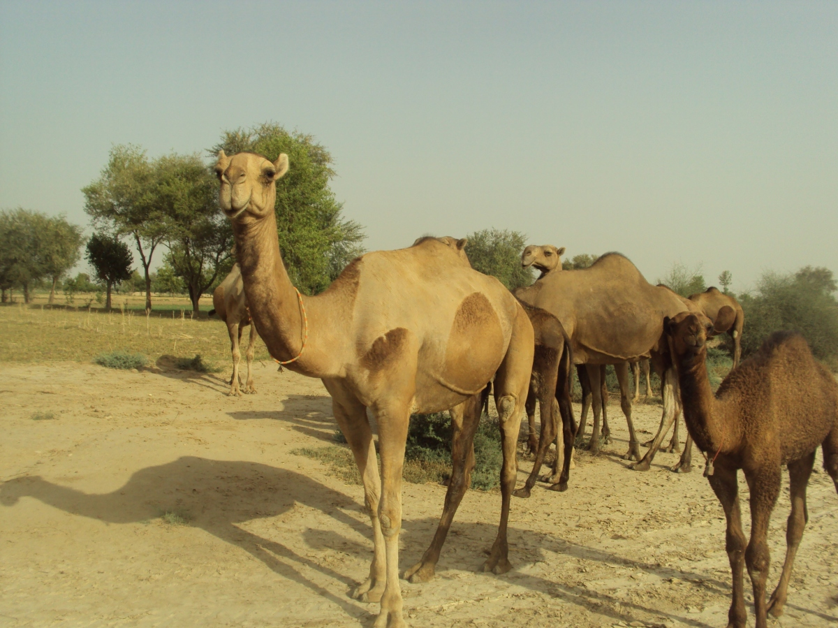 Barela Camel is the Milk Line of Riverine Pakistan