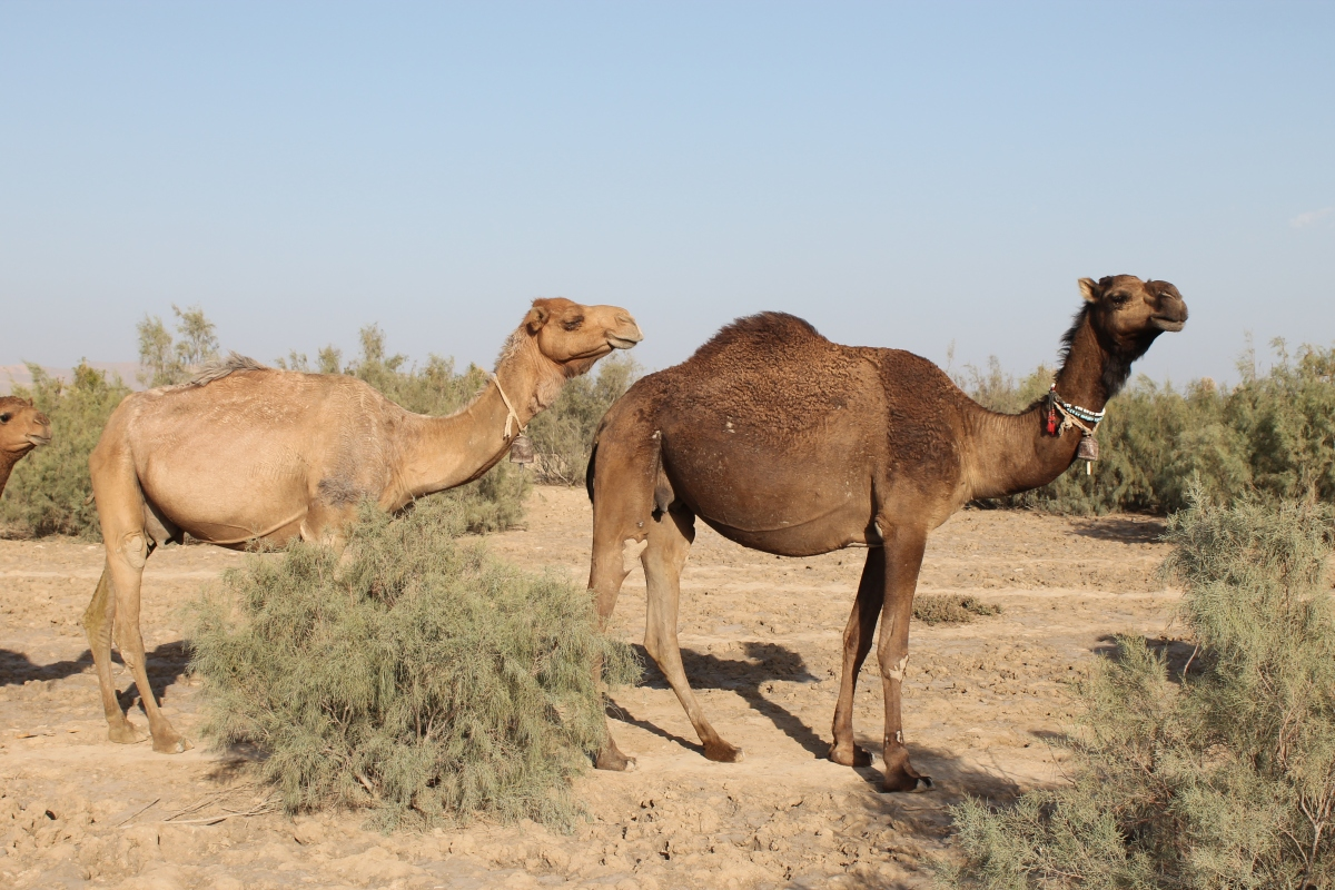 The Camels' Milkvein and its Correlation with the Average MilkYield