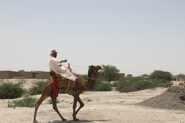 Bhirdi Camel Breed