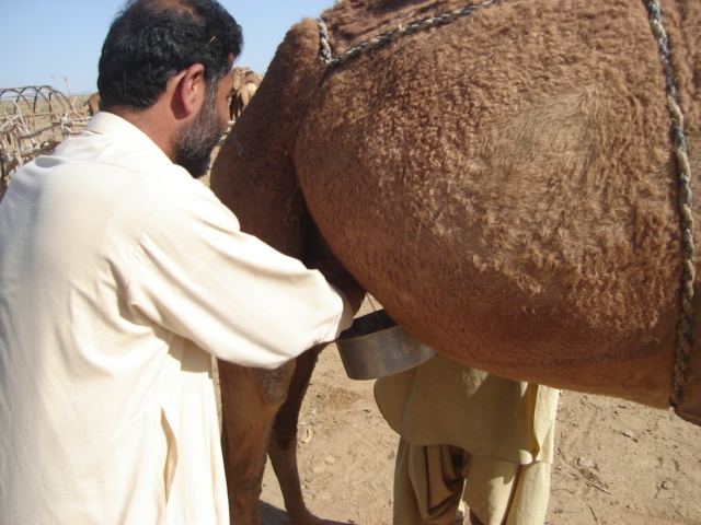 Policy Level Initiatives are Needed for Camel Milk in Pakistan