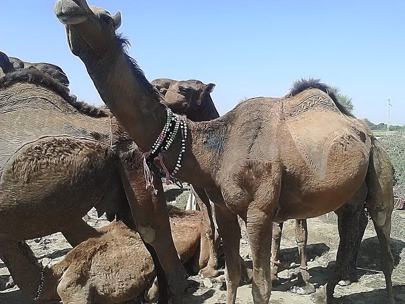 My Camel Story and World Camel Day (22 June)