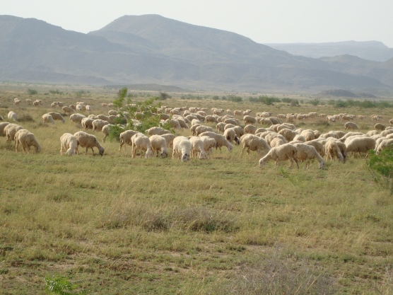 Beuragh Sheep Breed