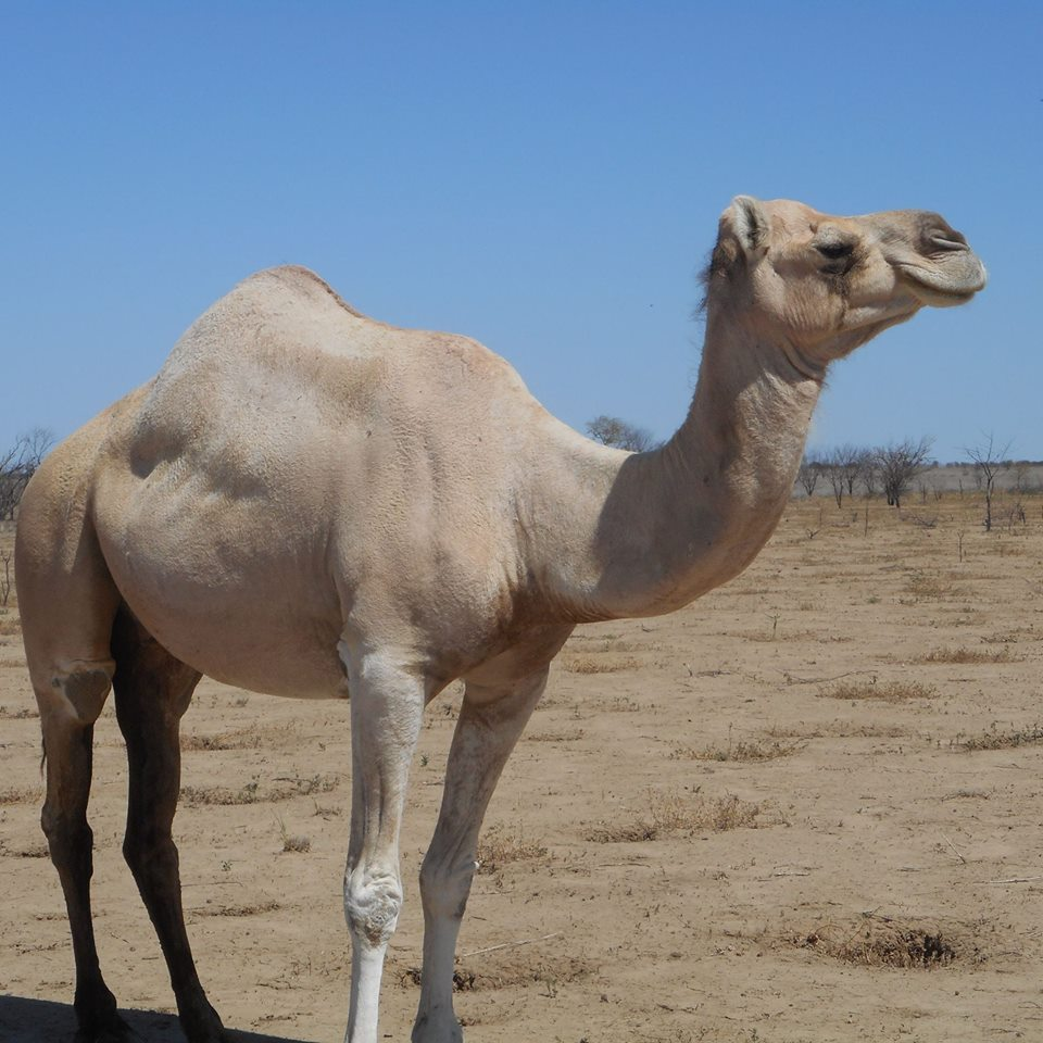 World Camels' Day and The Ghan's Camels
