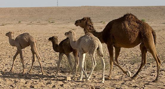 The Best Option for Sustainable Food Production in Challenging Environment ~is the Promising Camel