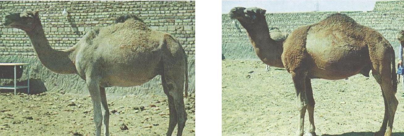 Mahabadi camel in Esfahan province in central