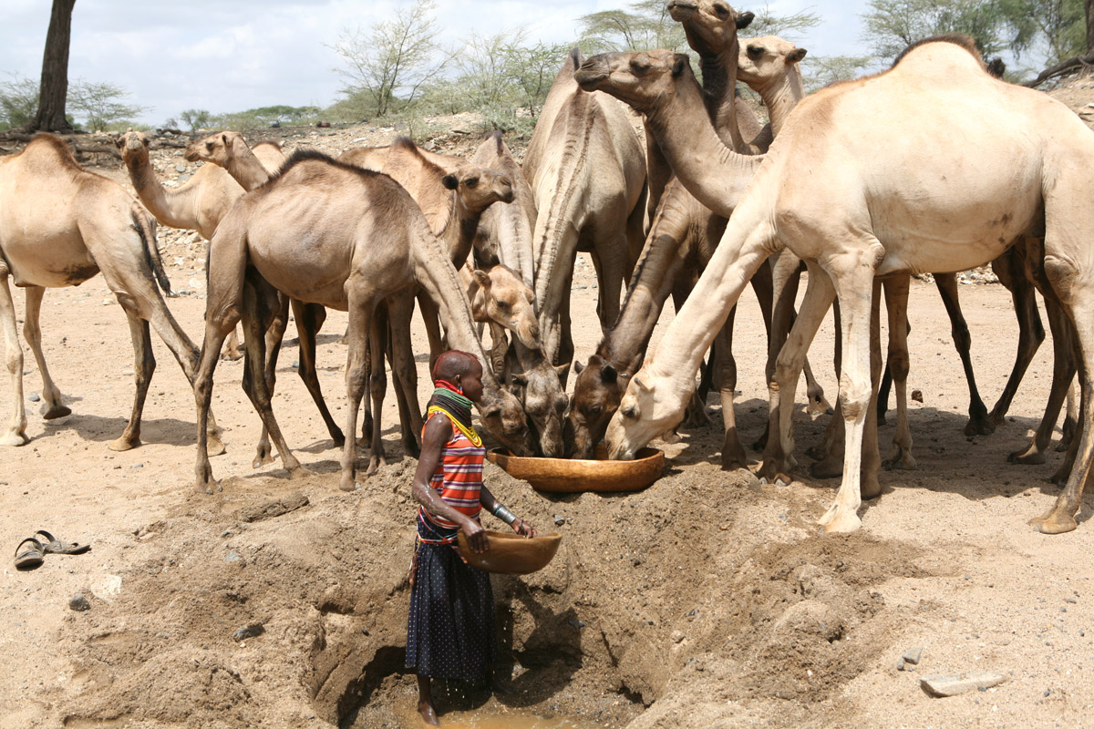 The Climate Change Forced African Pastoralists to Replace Cow with the Camel