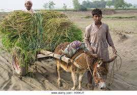 donkey in rural life