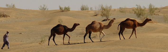 The Kharani camel in the Kharan desert