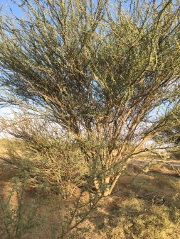 The strong tree with many stems