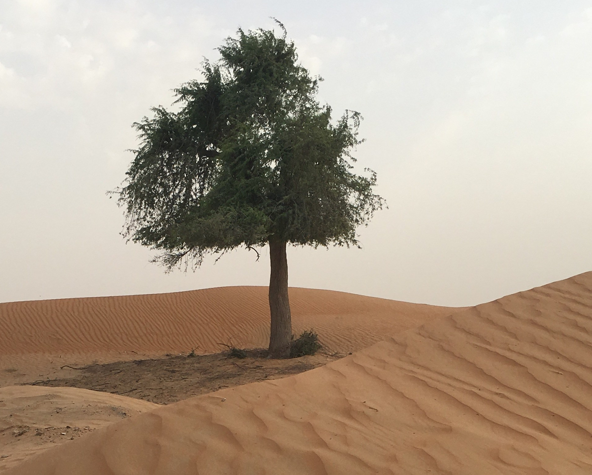 Prosopis tree deep in the desert