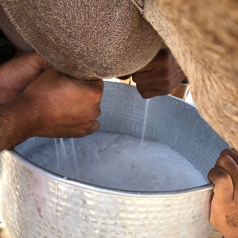 Why the Camel Milk is Anti-Infectious or Immunity Booster?