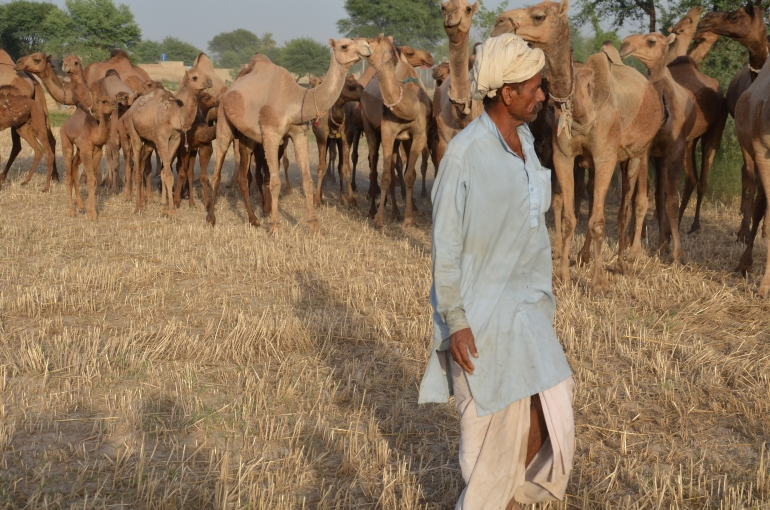 A cropland farmer passes with a Barela camel herd
