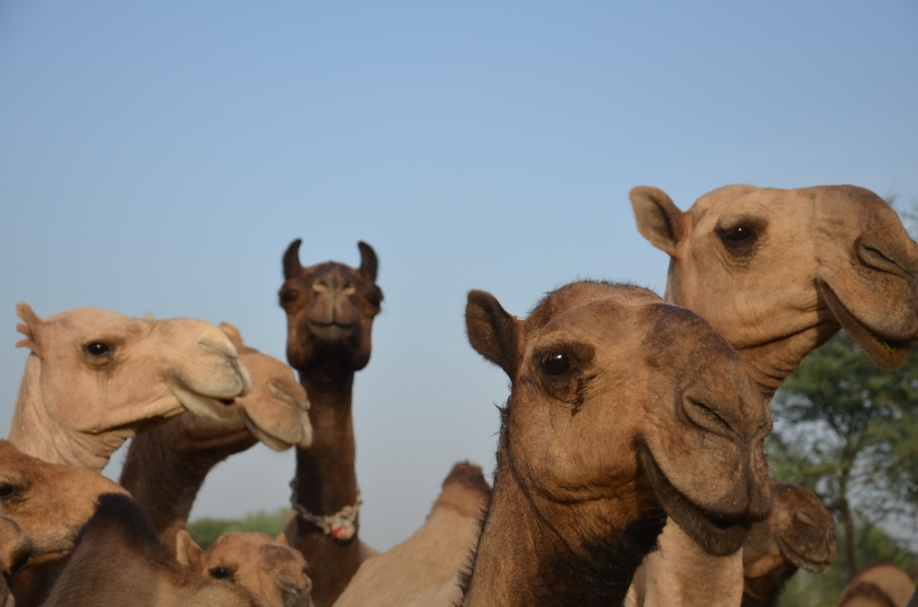 Barela camel herd with different types of color and faces.