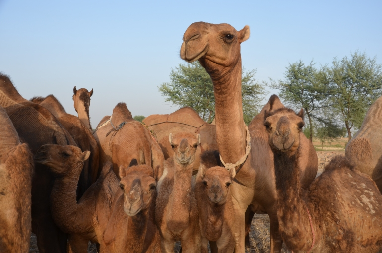 A beautiful Barela camel with her family