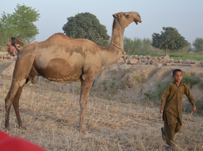 Beautiful Barela camel