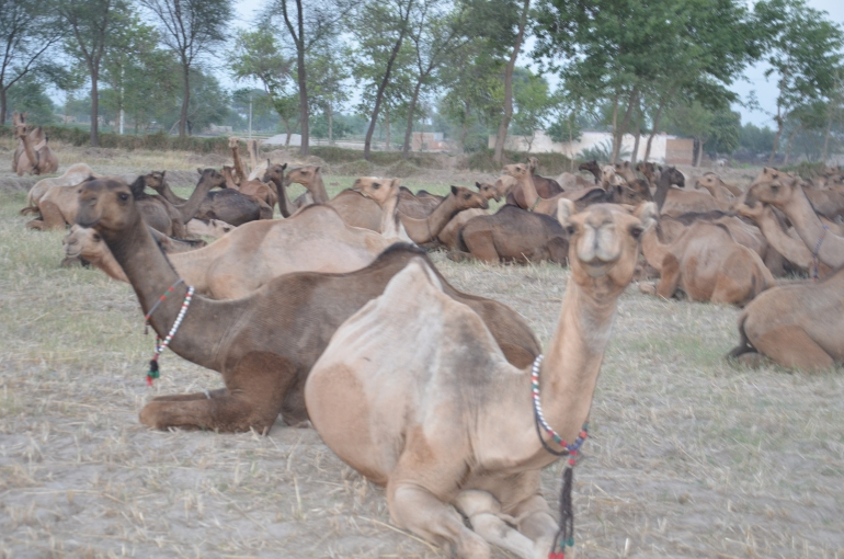 Barela camel herd but the first looking camel is more visible to Marrecha camel