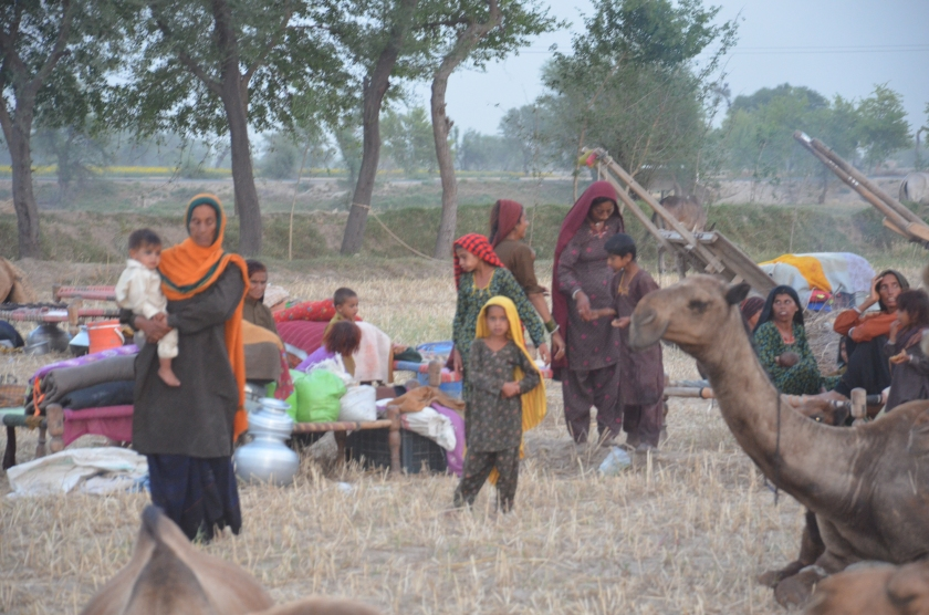 Cholistan camel breeds and pastoralists