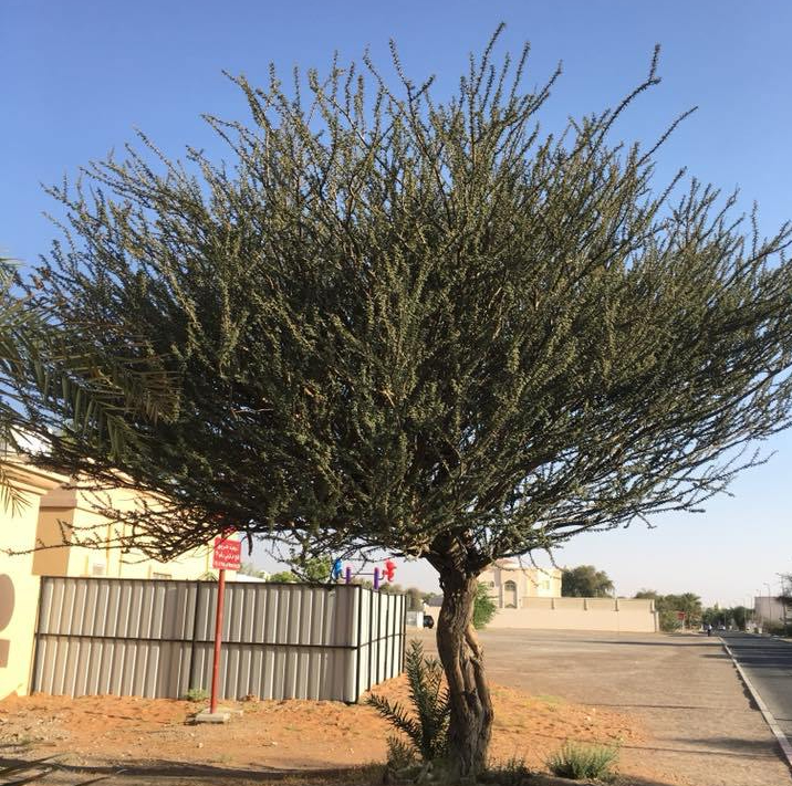 A Symbol of Resilience and Patience~The Acacia Tree of the Arabian Desert