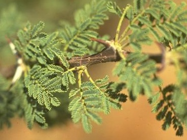 The close view of the compound leaf of the Acacia tortilis