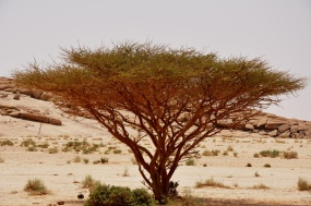 The resilience of the tree in the driest conditions