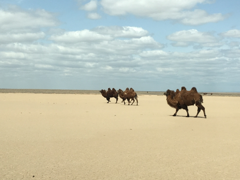 Bactrian Camels in the South Gobi Province of the Mongolia