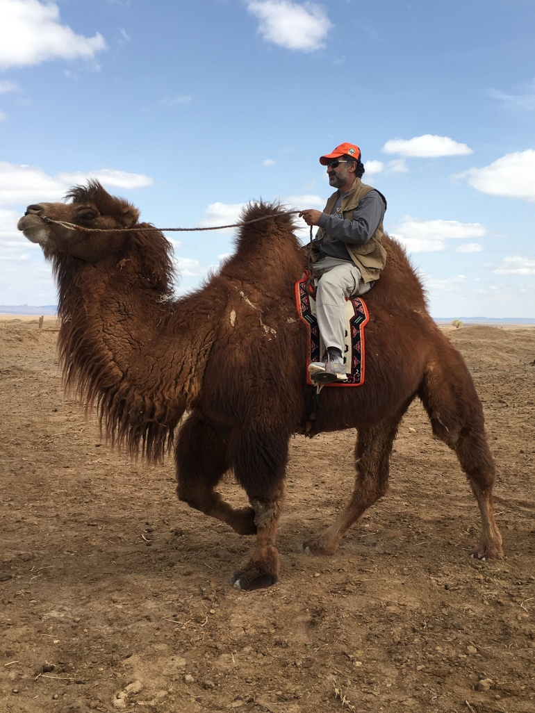 Bactrian camel is very good riding animal