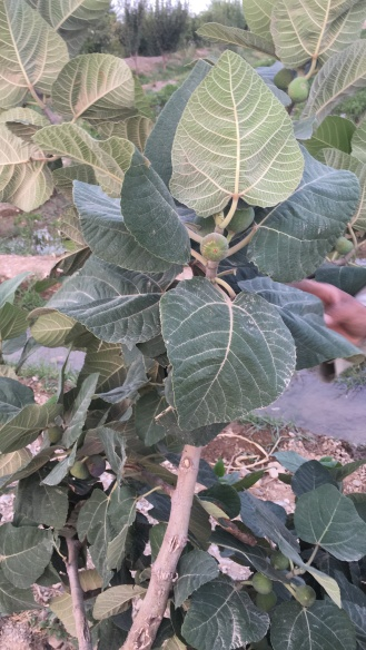 The fig plant