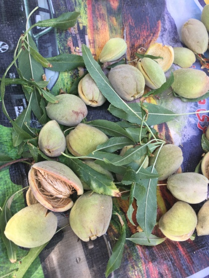 Almond catch good prices and also a source of family food in winter