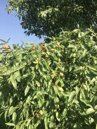 The almond tree with heavy production
