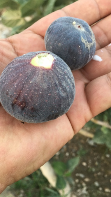 The beautiful fig fruits