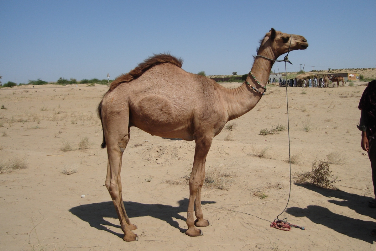 Body Condition Score (BCS) in Camel~ A tool for assessment of Adaptation