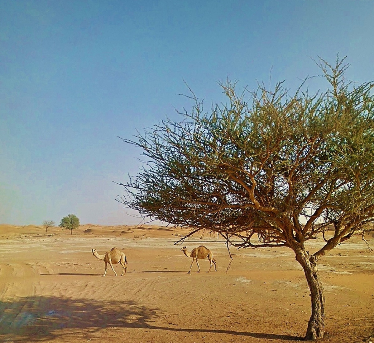 Camel, Desert and the Umbrella Tree