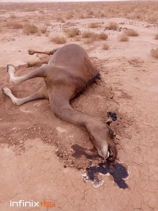 A Mysterious Disease is Killing Camels inSahara