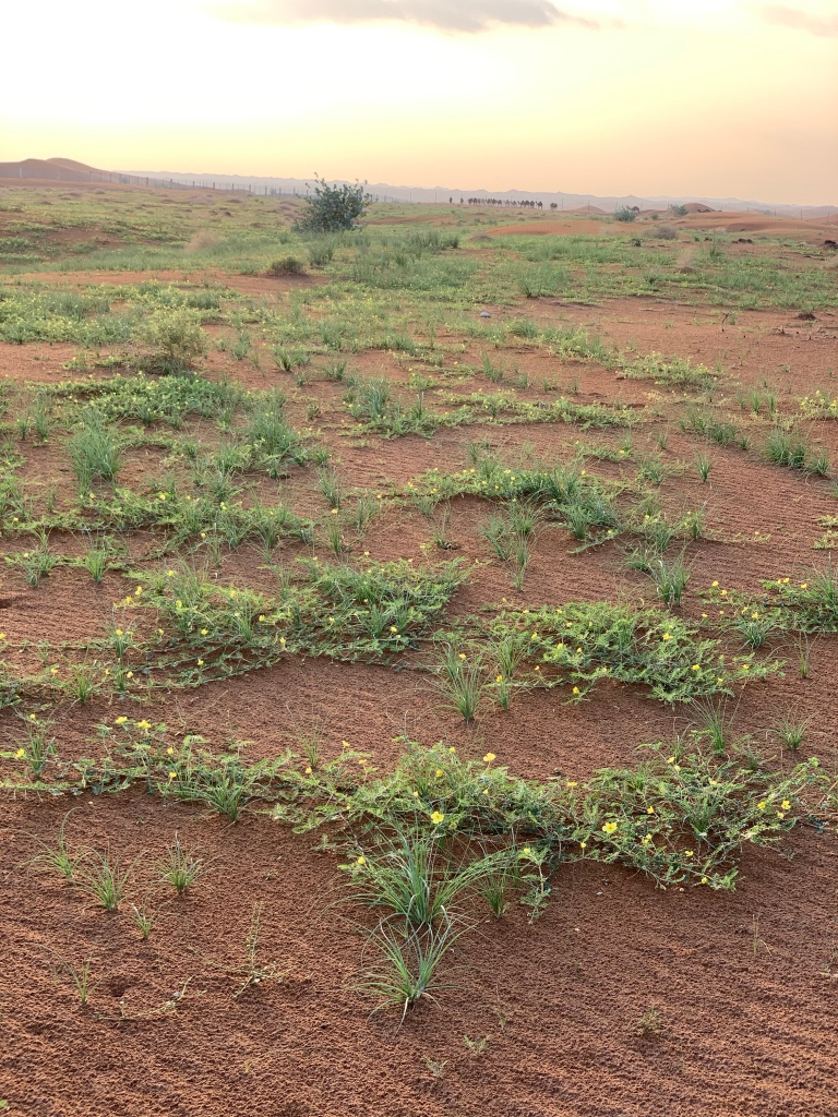 Richgreen Desert after the Rain