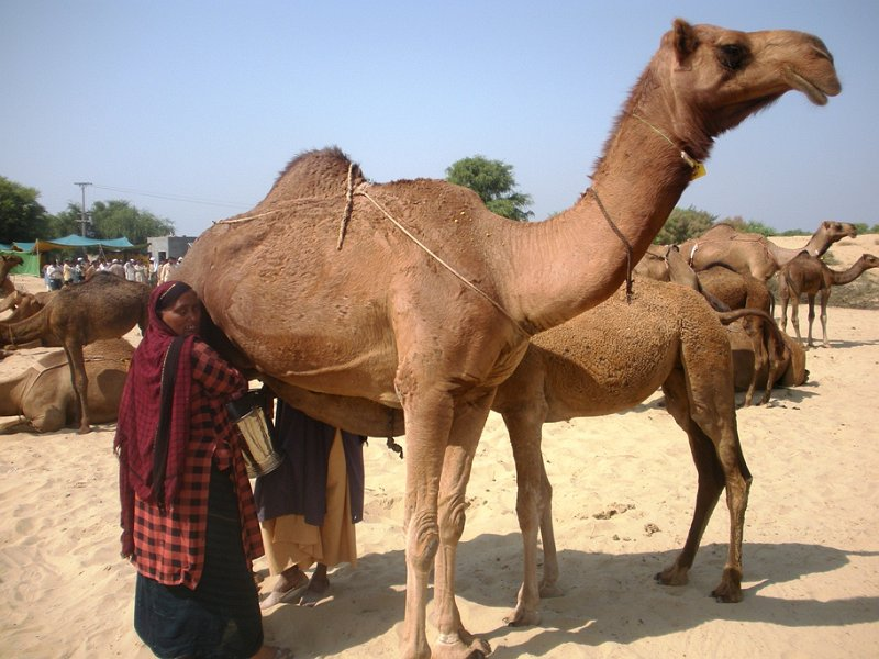 Camel Milk is a Food which Boosts your Immune System