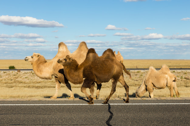 The King of the Gobi – Wild Camel Needs your Support for Conservation