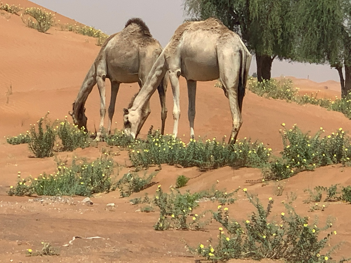 Camel Milk and Addition of New Products to the Dairy Industry