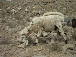 Balochi Sheep Breed