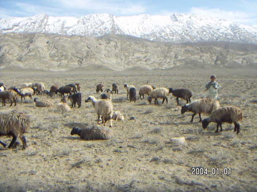 Dumarri Sheep Breed