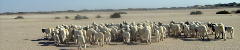 cropped-sheep-in-cholistan-desert.jpg