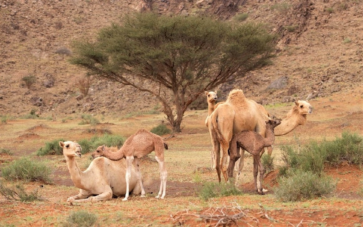 The Golden Beauty of Camel