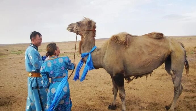 Camel is Intelligent and Loyal~ An Eye Opening Story