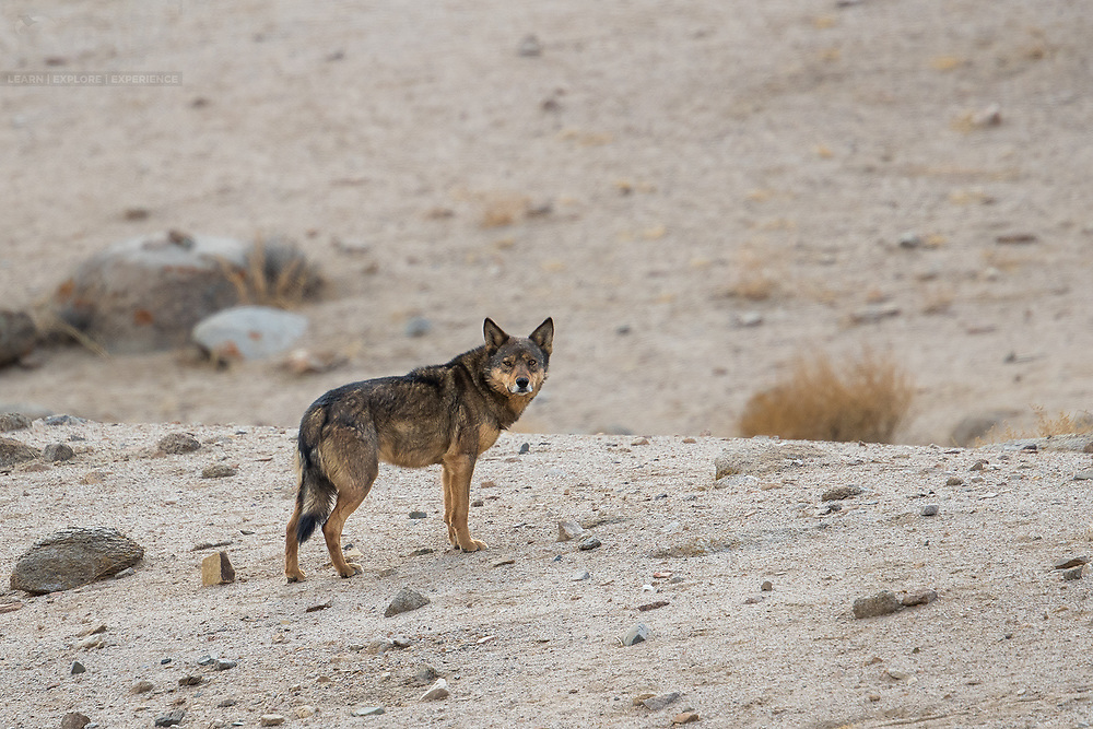 The Wildlife of The World's Deserts  – Part 1 – Asia — naturetails